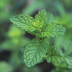 Wild Spearmint Bush