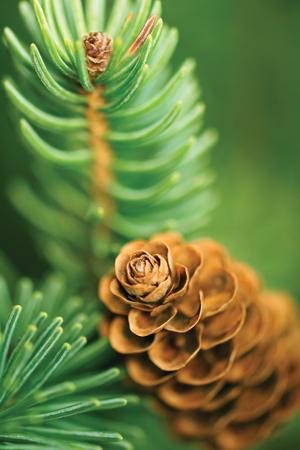 Pine & Eucalyptus